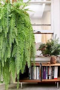 Plante Tropicale D Intérieur : fougere de boston plante d 39 int rieur inspiration tropicale jardin botanique pinterest ~ Melissatoandfro.com Idées de Décoration