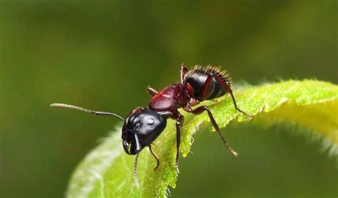 hausmittel gegen ameisen so entfernt sie aus dem garten