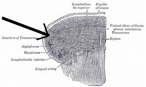 Transverse Muscle Of Tongue