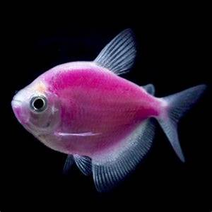Looking to add a new bright pet to the family GloFish