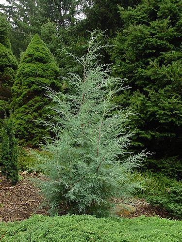 Carolina Sapphire Cypress Is The Fastest Growing Conifer