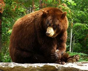 North American Bear Center - Honey's First Year at the ...