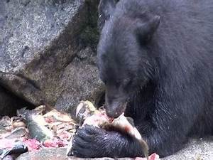 American Black Bear / Eating / Alaska / USA HD Stock Video ...
