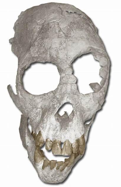 Proconsul Skull Extinct Apes