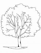 Tree Oak Coloring Pages Elm Trees Printable Pine Drawing Bare Redwood Template Planting Rainforest Trunk Outline Leaves Getcolorings Getdrawings Sketch sketch template
