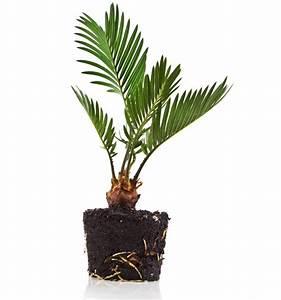 überwintern Von Palmen : die palme ~ Michelbontemps.com Haus und Dekorationen