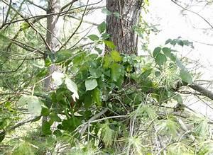 Cidyjufun Poison Ivy Plant Fall