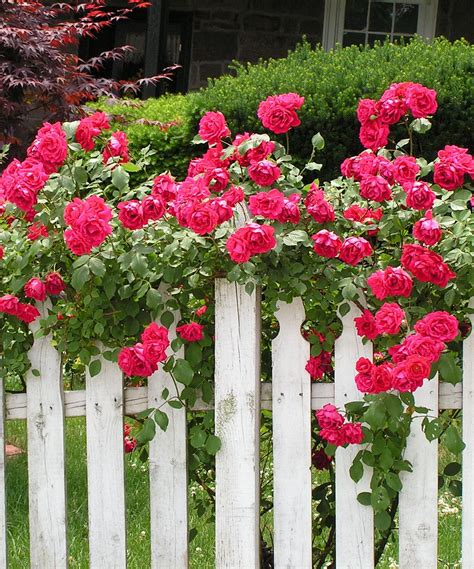 Blaze Climbing Rose Plant  How Does Your Garden Grow