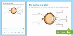 The Eye Cut And Stick Worksheet    Worksheet
