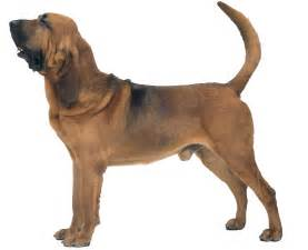 bloodhound all big dog breeds