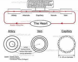 Arteries Vs Veins Jpg  650 U00d7520