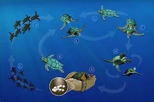 Wiring Diagram  28 How Do Turtles Mate Diagram