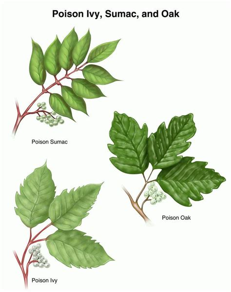 poison sumac poison plant identification boy scout ideas pinterest plant identification kid and let it be