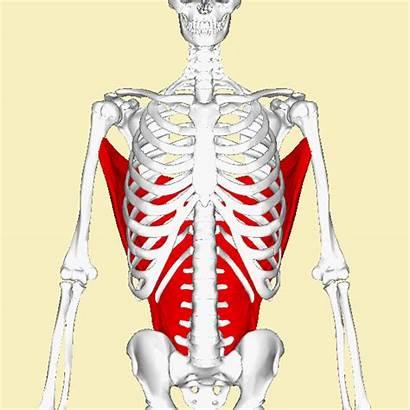 Dorsi Latissimus Muscle Major Pectoralis Teres Wikipedia
