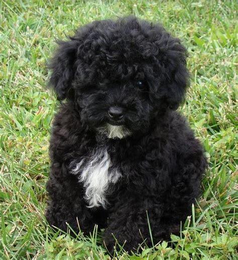 Black Maltese Puppies For Sale Goldenacresdogs Com