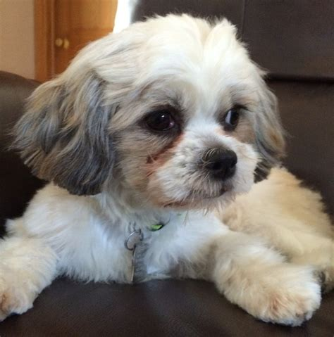 Maltese Rescue Available Dogs