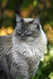 Gorgeous Light Grey Cat
