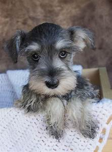 What The Books Didn't Tell You About Schnauzers
