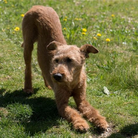 Dogs That Dont Shed Hair Ireland by Top 11 Breeds That Don T Shed Insider Monkey