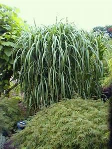 Gräser Für Garten : riesen chinaschilf als sichtschutz f r garten terrasse ~ Lizthompson.info Haus und Dekorationen