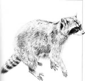 Raccoon Pencil Drawings
