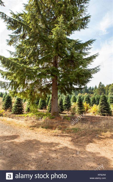 christmas tree farms near mt hood corbett oregon stock photos corbett oregon stock images alamy