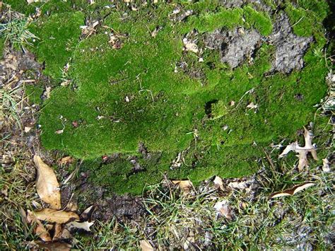 growing moss lawn moss in lawns
