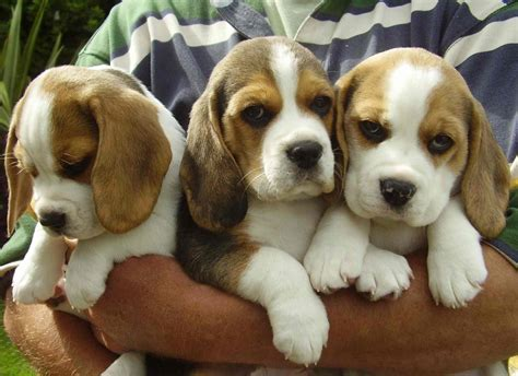 Beagle Dog Breed Information Pictures And More