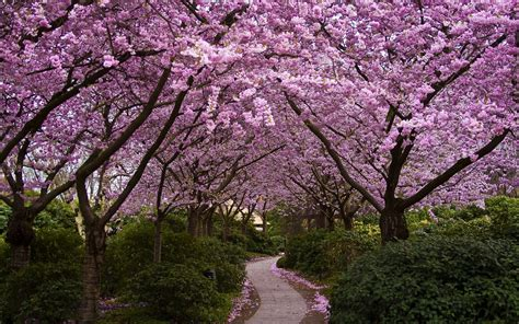 cherry blossom garden cherry blossom garden wallpapers 1920x1200 1686964