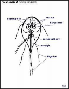 Principles Of Parasitism  Giardia
