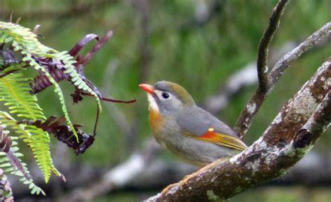 killing birds invasive species in hawaii birds in a