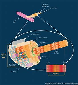 Skeletal Muscle Fiber Structure Infographic
