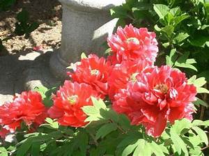 Rosa Blühende Bäume April : foto baumpfingstrose rot ~ Michelbontemps.com Haus und Dekorationen