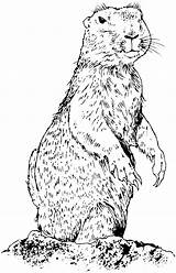 Prairie Dog Coloring Dogs Animals Pages Prarie Drawings Wildlife Standing Keywords Suggestions Amp Related Realistic Getcoloringpages sketch template