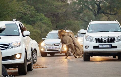 lion car lions catch antelope inches from stunned tourists in