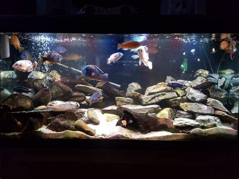 keeping  healthy  stocked mbuna tank  aquarium club