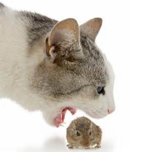 cat and mouse 10 facts about cats and mice cattime