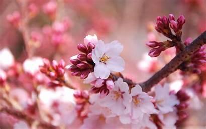 Cherry Blossom Buds Wallpapers Pixelstalk