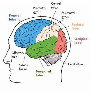The Study Of The Brain And Nervous System Is Called