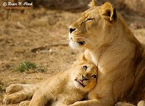 ClarkVision Photograph - Lion Cub Love