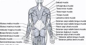 Human Anatomy Diagram Picture
