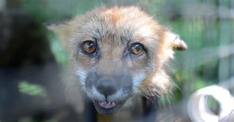 quebec fur farmer  guilty  animal cruelty  fur