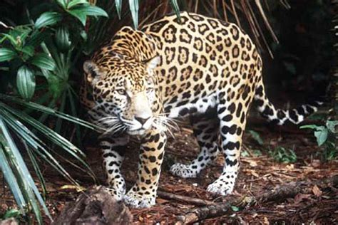 How Are Jaguars Endangered by Critical Habitat For Endangered Jaguar To Be Protected