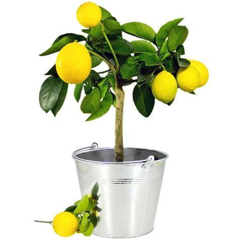 1000 id 233 es sur le th 232 me arbres en pots sur bonsa 239 jardinage et petits arbres