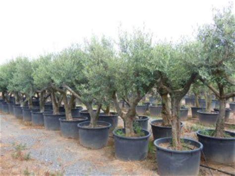 oliviers en pot