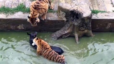 donkey fed  tigers  chinese zoo