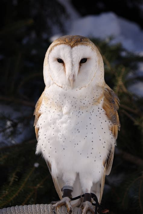 our jazzy june raptor of the month is jazz the barn owl