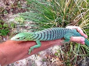 Blue Tree Monitor Lizard | ... Life Of The Girl Next Door ...