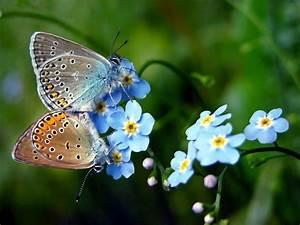 Kleine Blütenwunder Vergissmeinnicht Vergissmeinnicht