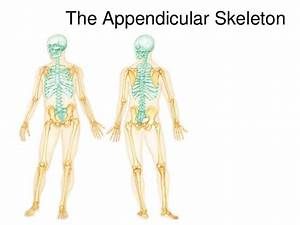 Lecture 8 Appendicular Skeleton